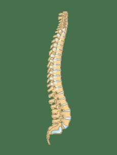 Skeletal System bull Anatomy amp Function