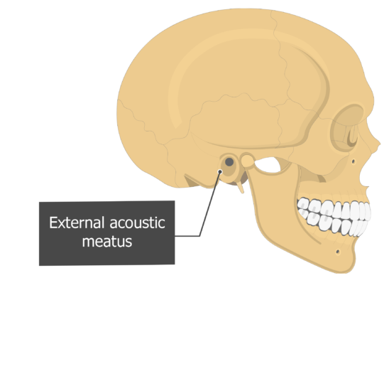 External acoustic (auditory) meatus Temoporal bone lateral view