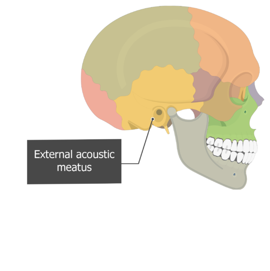 External acoustic (auditory) meatus Temoporal bone lateral view colored