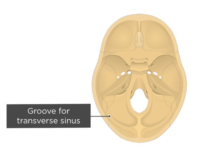 A superior view of the base of the skull with a label of the groove for transverse sinus