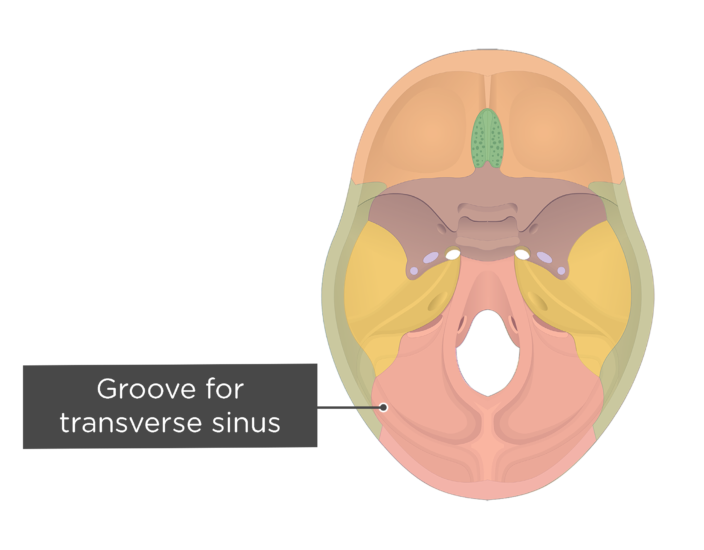 A superior view of the base of the skull with a label of the groove for transverse sinus - each bone has a different color