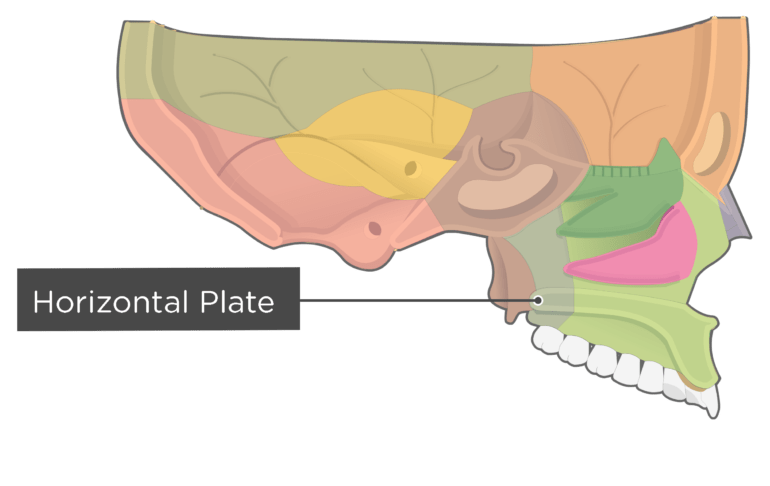 sagittal view of the skull with a label of the horizontal plate - each bone has different color