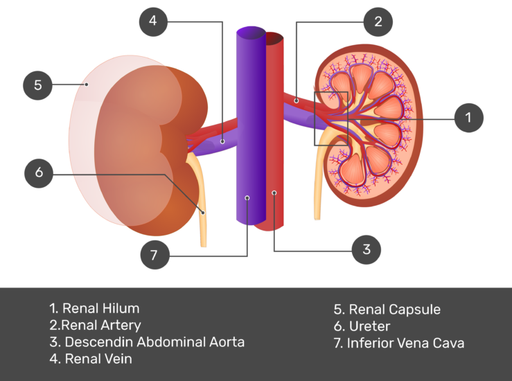 Renal External Anatomy Kidney