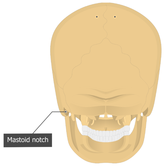 Mastoid notch Temoporal bone posterior view