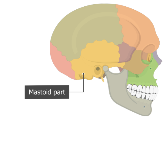 Mastoid part Temoporal bone lateral view colored