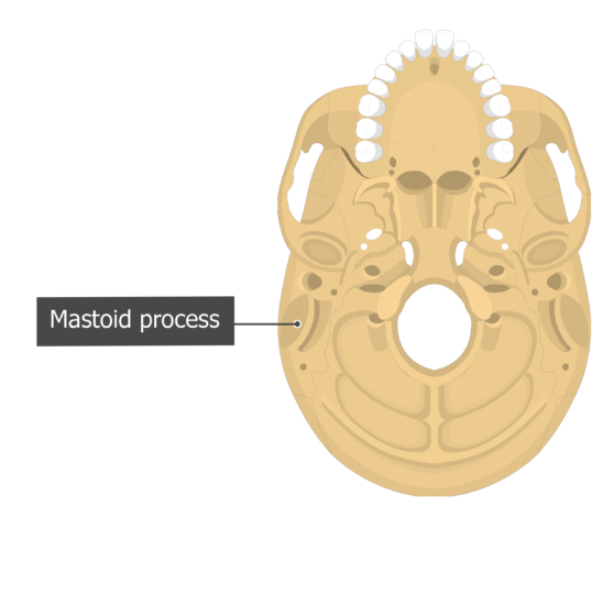 Mastoid process Temoporal bone inferior view