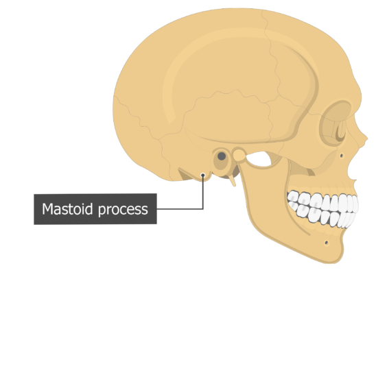 Mastoid process Temoporal bone lateral view