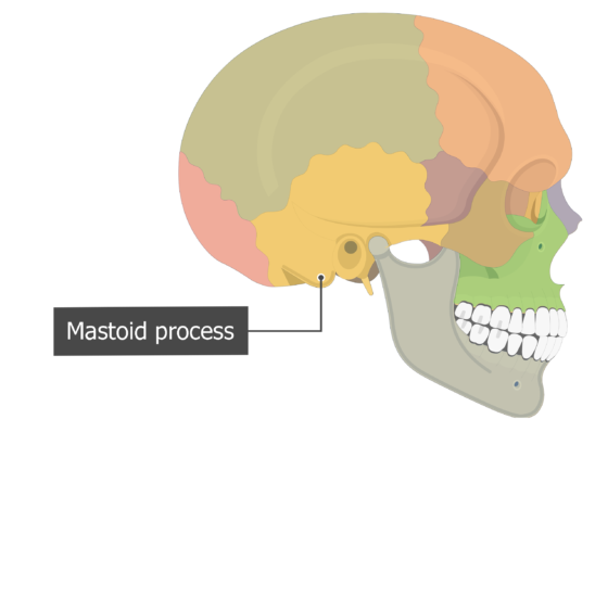 Mastoid process Temoporal bone lateral view colored