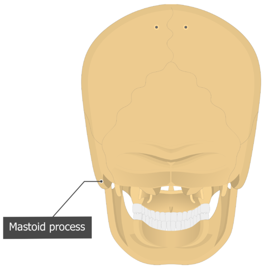 Mastoid process Temoporal bone posterior view
