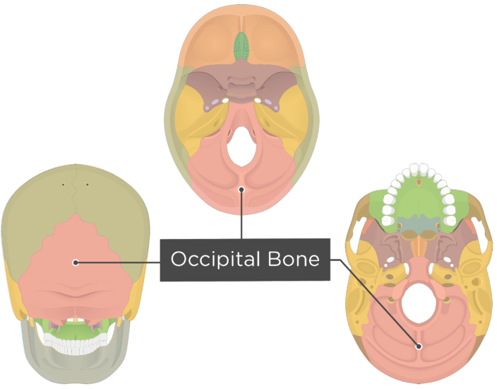A inferior, superior and posterior view of the skull with a label of the Occipital bone - each bone has a different color