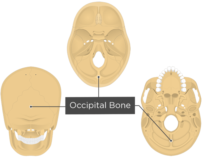 A inferior, superior and posterior view of the skull with a label of the Occipital bone