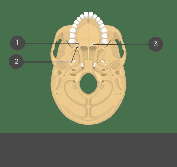 Palatine bone anatomy