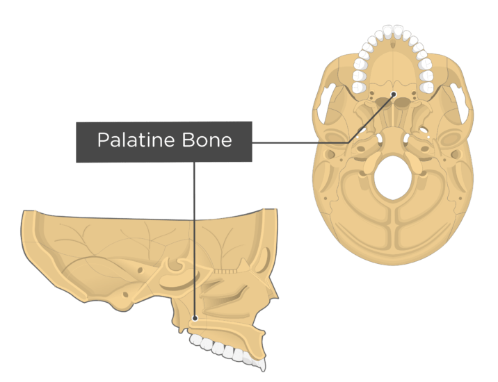 inferior and sagittal view of the skull with a label for the palatine bone