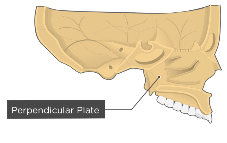 sagittal view of the skull with a label of the perpendicular plate