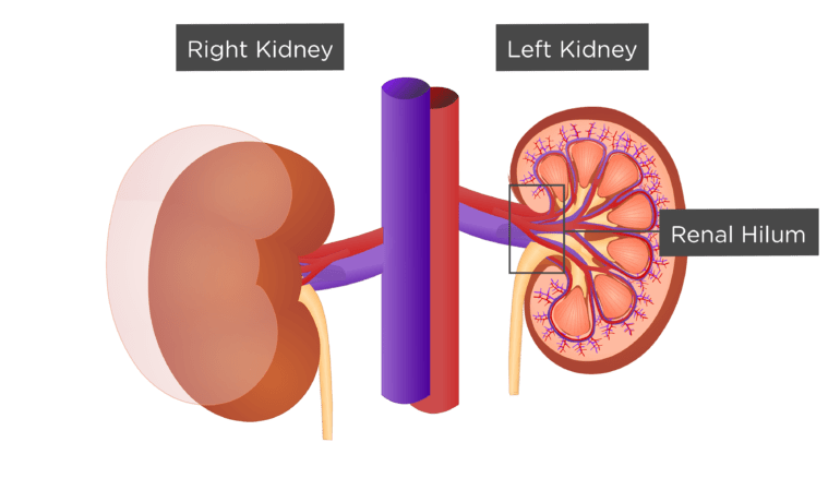 Renal External Anatomy Kidney
