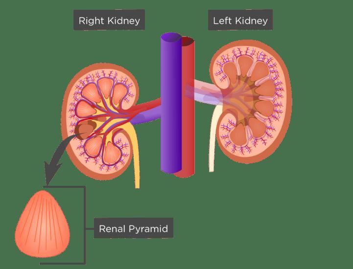 Renal Internal Anatomy Kidney