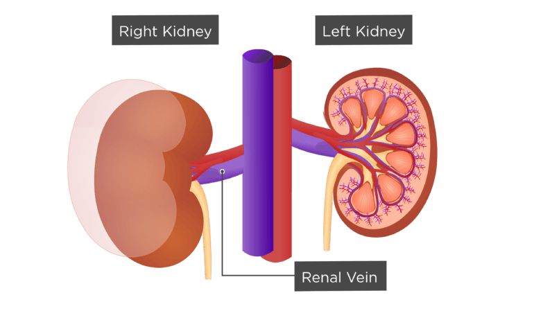 Contemporary Renal Vein Anatomy Elaboration Anatomy And Physiology