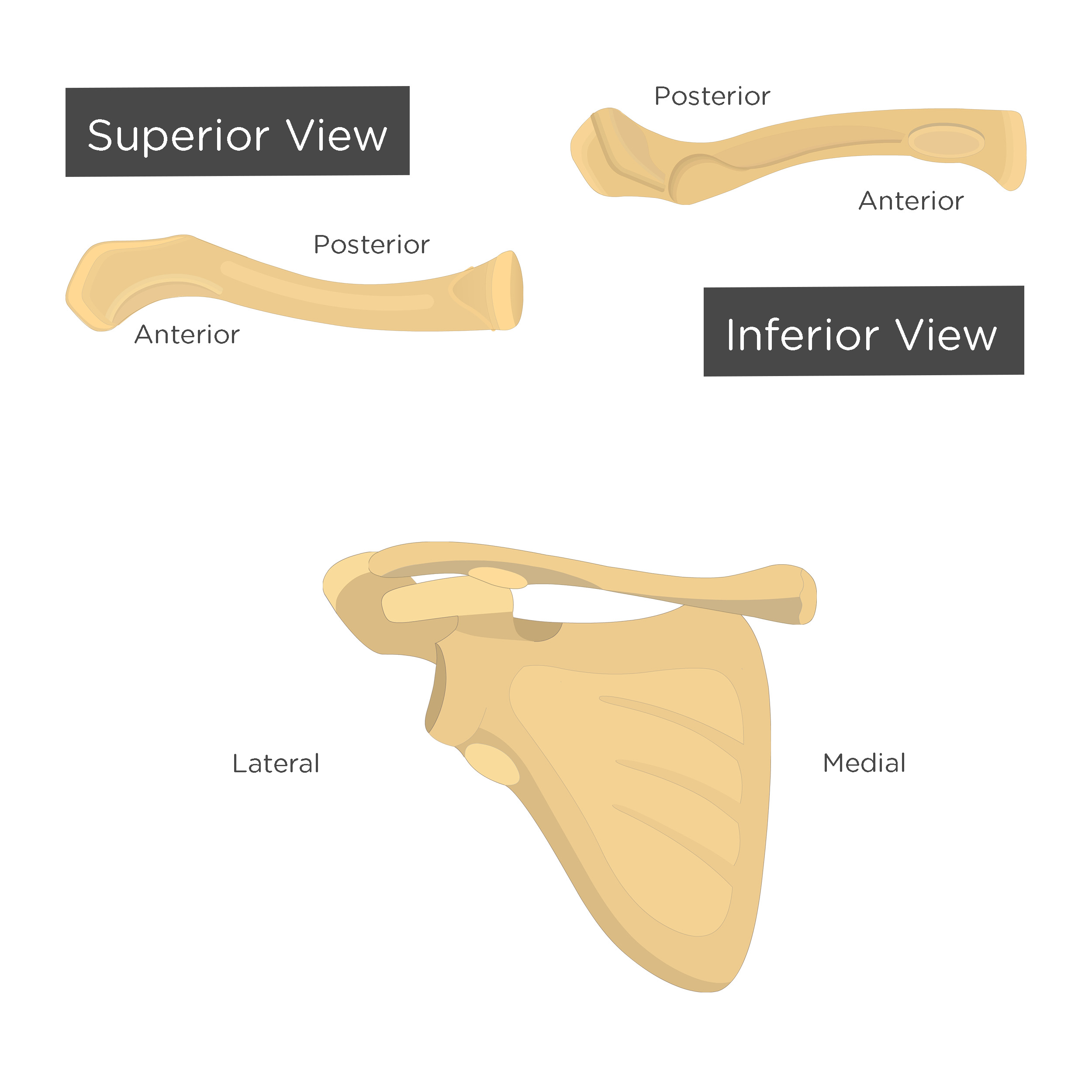 Clavicle Bone Anatomy