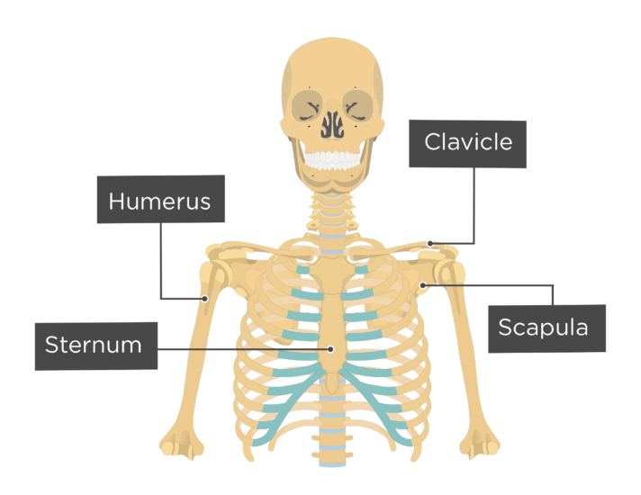 Clavicle Bone An Introduction