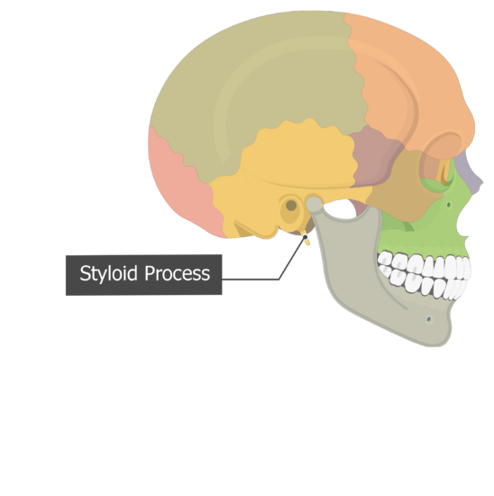 Styloid Process Temoporal bone lateral view colored