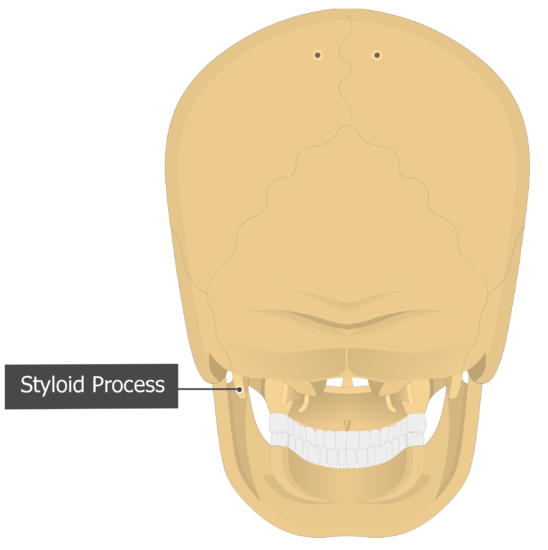 Styloid Process Temoporal bone posterior view