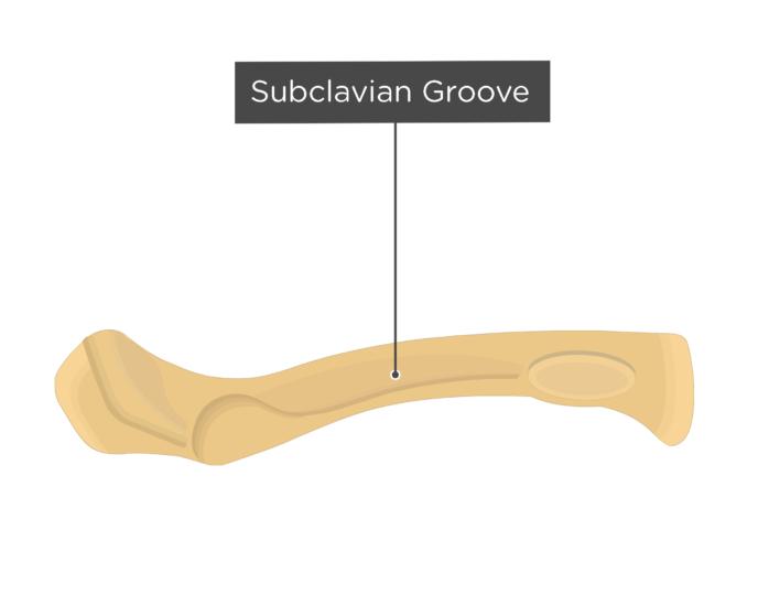 Clavicle Bone Anatomy