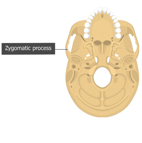 Zygomatic process Temoporal bone inferior view