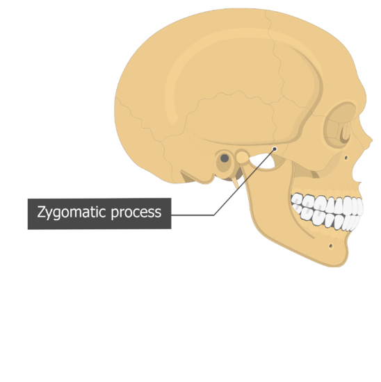 Zygomatic process Temoporal bone lateral view