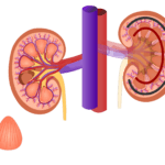 Renal Internal Anatomy | Kidney
