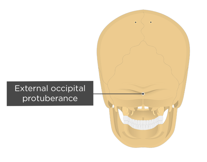 A posterior view of the skull with a label of the external occipital protuberance
