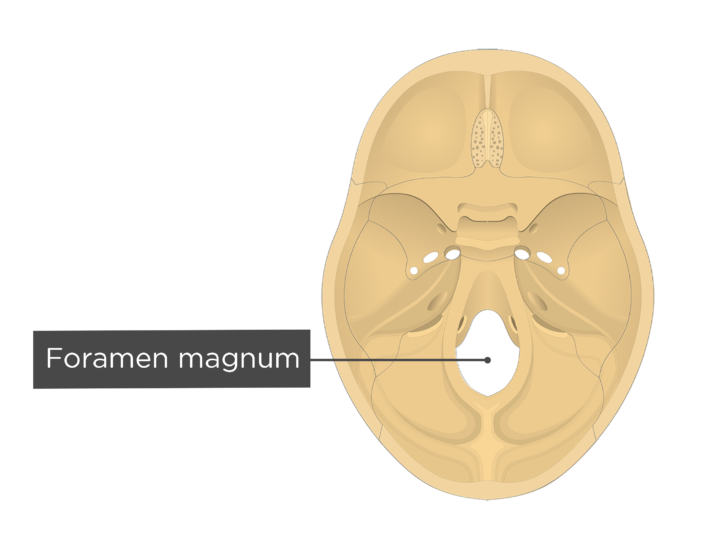 A superior view of the base of the skull with a label of the foramen magnum