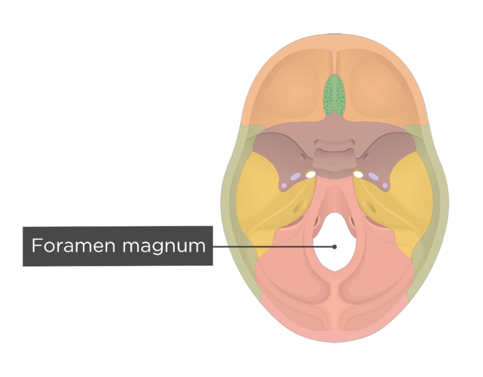 A superior view of the base of the skull with a label of the foramen magnum - each bone has a different color