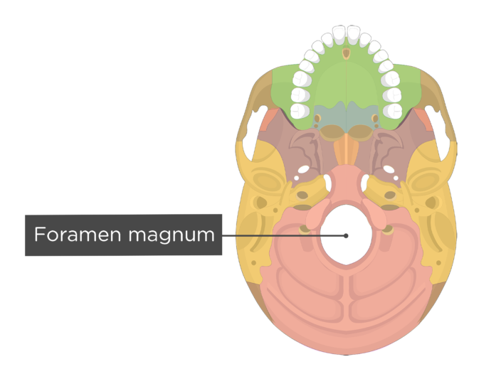 A inferior view of the skull with a label of the foramen magnum - each bone has a different color