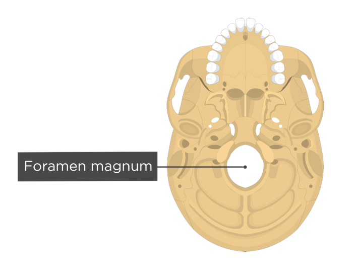 A inferior view of the skull with a label of the foramen magnum