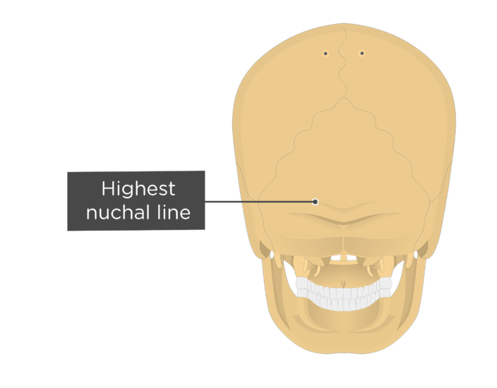 A posterior view of the skull with a label of the highest nuchal line