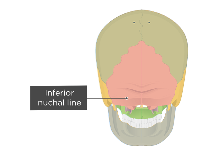A posterior view of the skull with a label of the inferior nuchal line - each bone has a different color