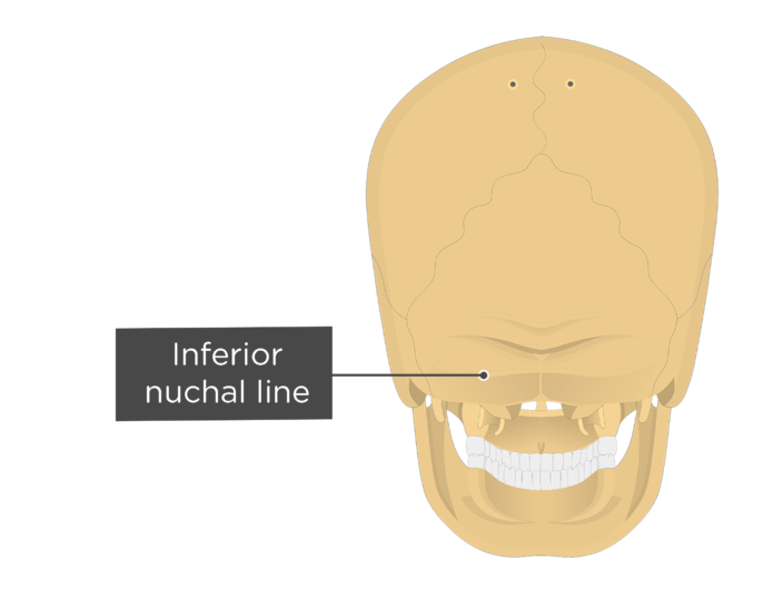 A posterior view of the skull with a label of the inferior nuchal line