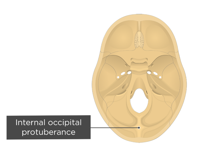 A superior view of the base of the skull with a label of the internal occipital protuberance