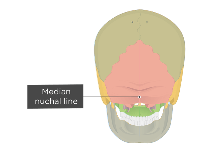 A posterior view of the skull with a label of the median nuchal line - each bone has a different color