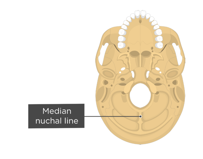 A inferior view of the skull with a label of the median nuchal line