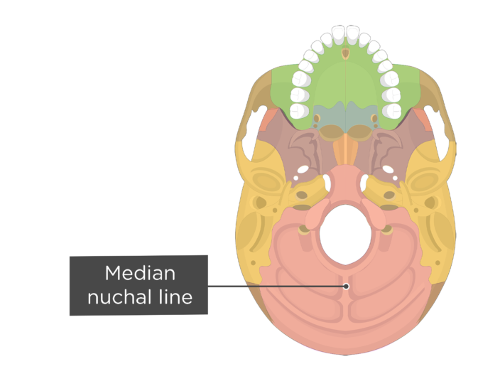 A inferior view of the skull with a label of the median nuchal line - each bone has a different color