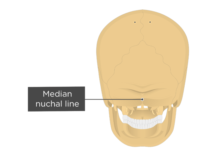 A posterior view of the skull with a label of the median nuchal line
