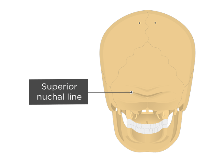 A posterior view of the skull with a label of the superior nuchal line