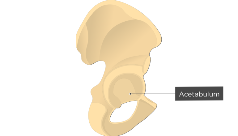Acetabulum - Hip Bone