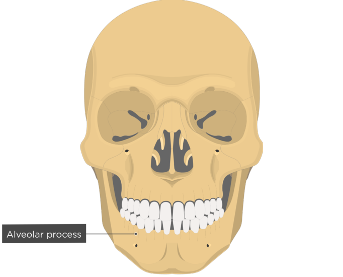 Alveolar process - Mandible bone - Anterior view