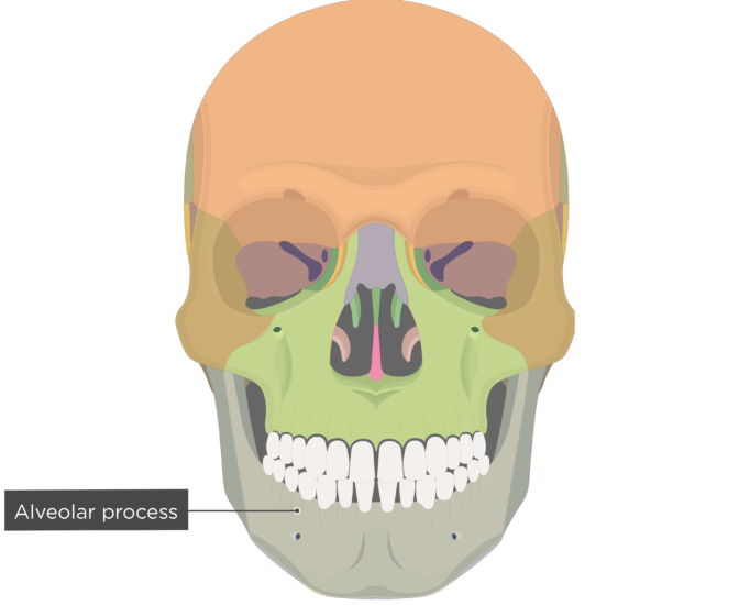 Alveolar process - Mandible bone - Anterior view colored