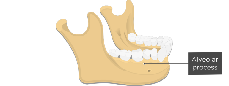 Alveolar process - Mandible bone - Lateral view