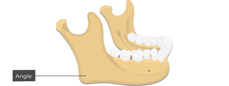 Angle - Mandible bone - Lateral view