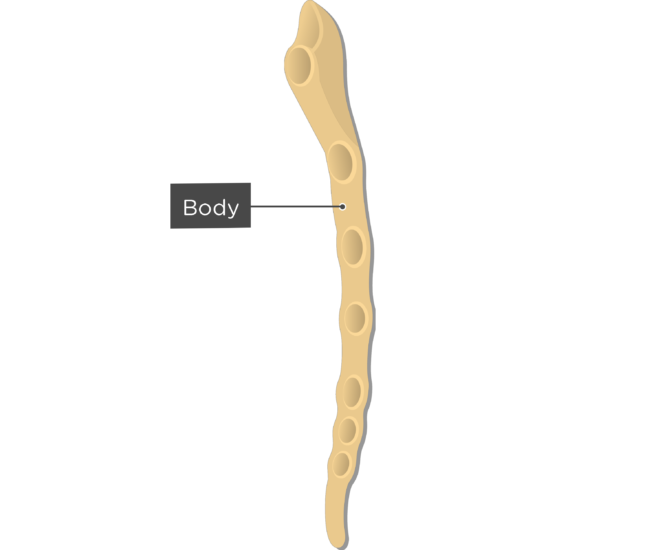Body or gladioulus - Sternum Bone - Lateral View