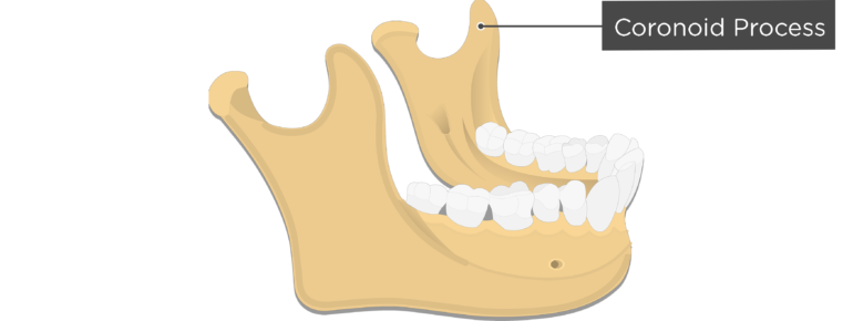 Coronoid process - Mandible bone - Lateral view